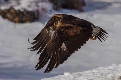 Golden-Eagle-photography-Bulgaria-Iordan-Hristov 3479-web