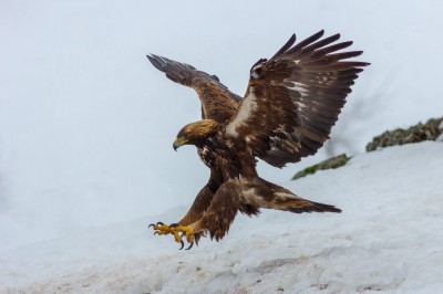 Golden-Eagle-photography-Bulgaria-Iordan-Hristov 4144-web