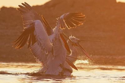 Dalmatian-Pelican-photography-Iordan-Hristov 2036-800px-web