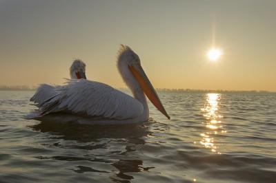 Dalmatian-Pelican-photography-Iordan-Hristov 2177-web