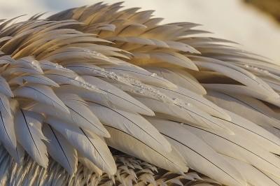 Dalmatian-Pelican-photography-Iordan-Hristov 2264-web