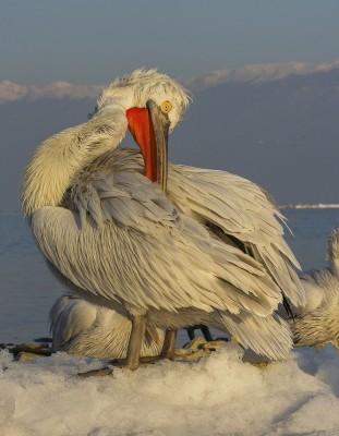 Dalmatian-Pelican-photography-Iordan-Hristov 2311-web