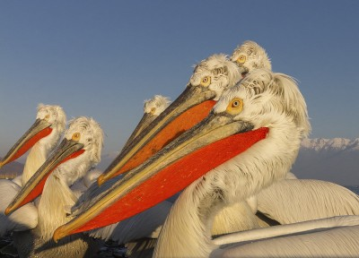 Dalmatian-Pelican-photography-Iordan-Hristov 2411-web
