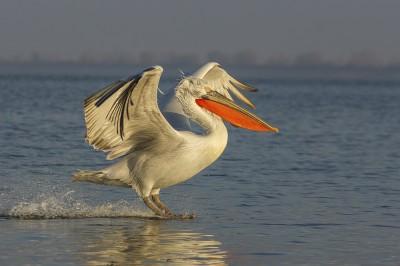 Dalmatian-Pelican-photography-Iordan-Hristov 2455-web