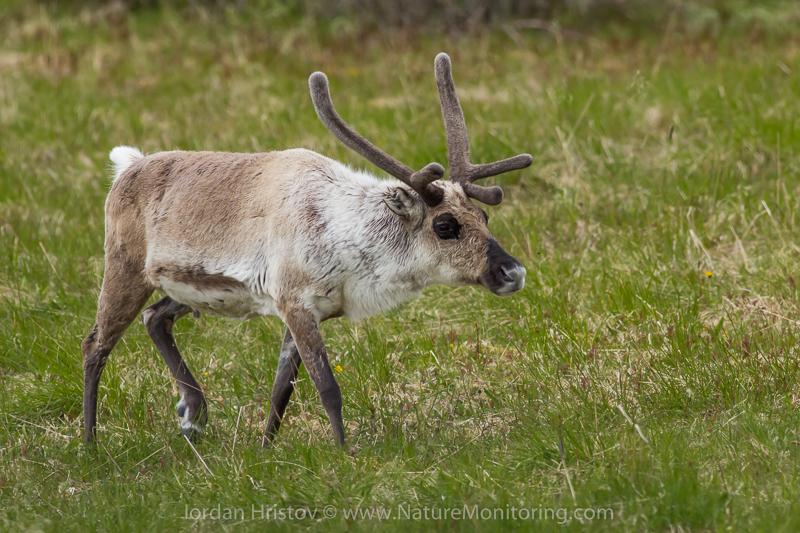 Reindeer are raised as domestic animals © Iordan Hristov