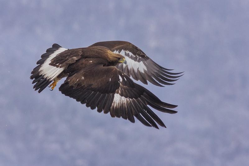 Golden Eagle hide photography © Iordan Hristov