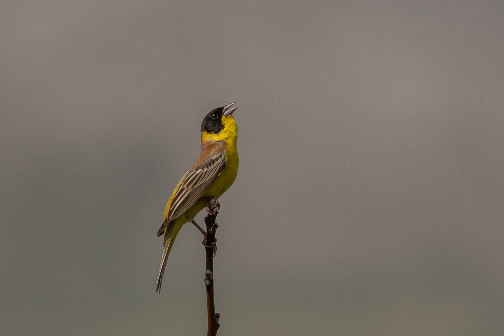 Black-headed-Bunting-bird-photography-Bulgaria-Iordan-Hristov-8996