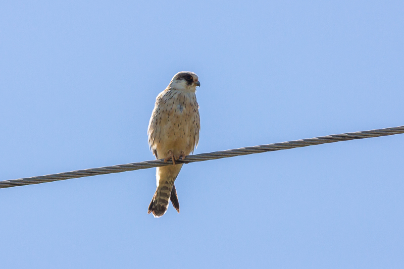 birding in Bulgaria Red-footed Falcon