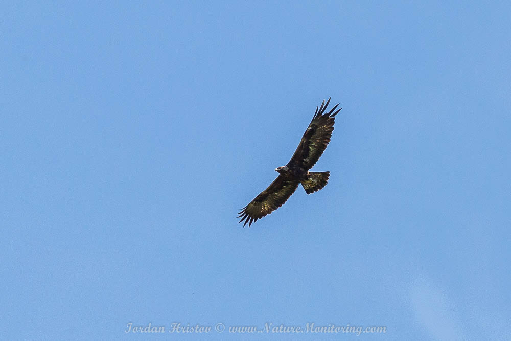 Golden Eagle photography