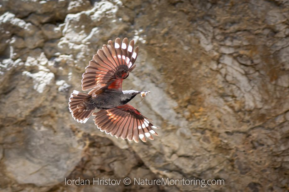 best wallcreeper photos